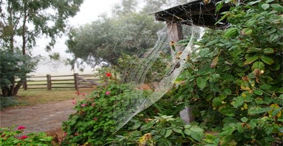 Golen Orb Web