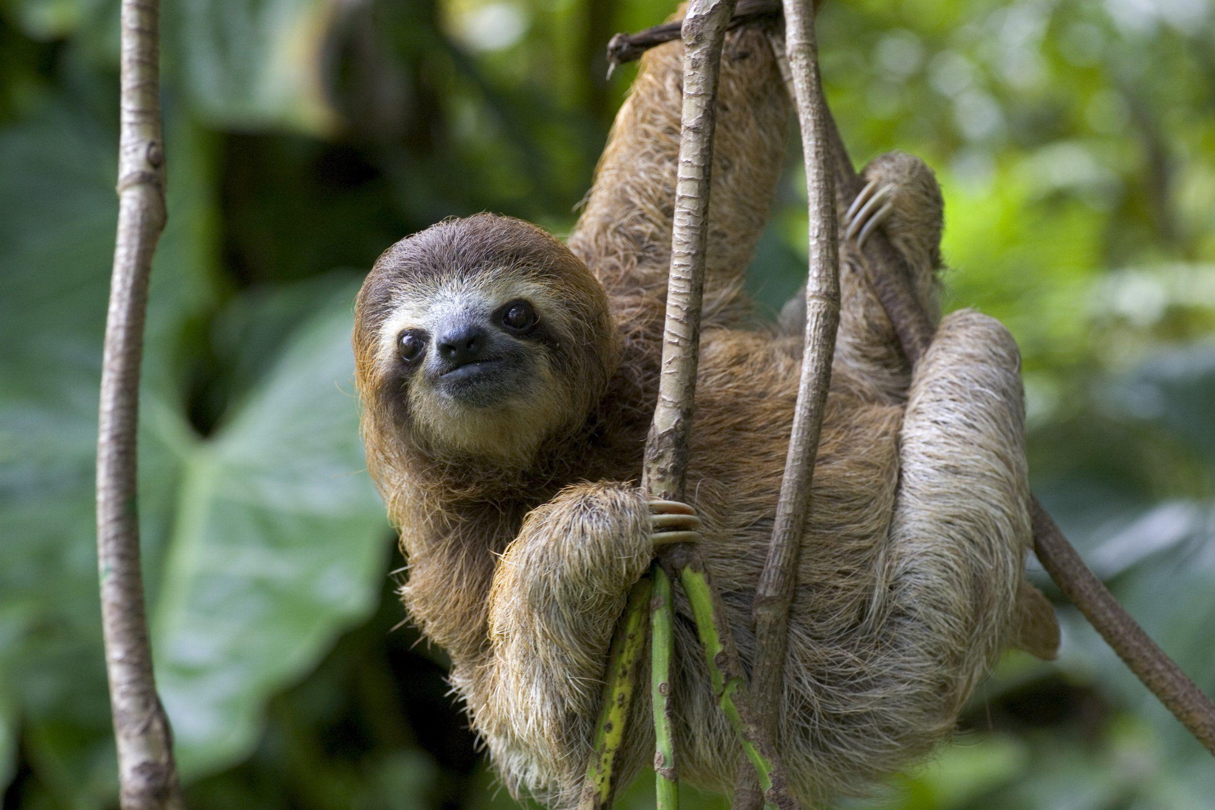 Resultado de imagem para sloth