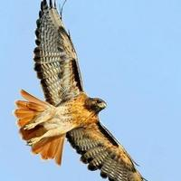 Thumbnail red tail hawk